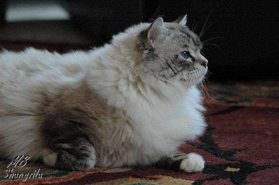 Heimdall, male ragdoll seal tabby point mitted shangrila